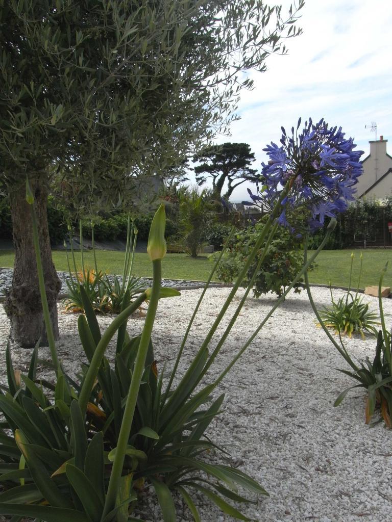 Les Agapanthes:  floraison